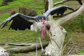 Maribou Stork Tries To Stay Balanced