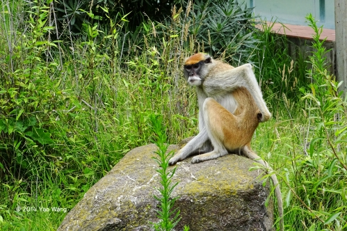 Patus Monkey Scratches Back