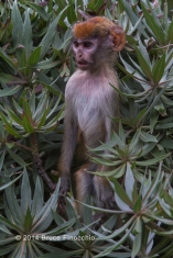 Young Patus Monkey Stands Up To Check Out Something