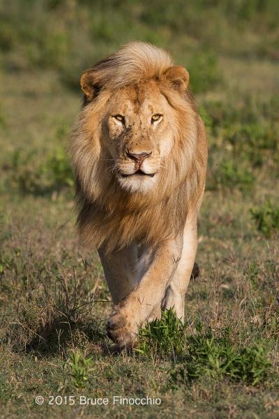 Blonde Mane Lion Comes Running