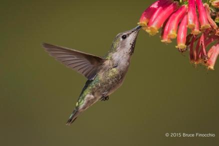 Female Anna's Hummingbird Sips The Nectar Of Superb Grevillea