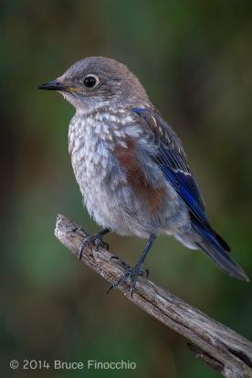Juvenile Male Western Bluebird
