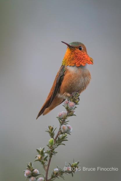 Male Allen's Hummingbird Shows Splendid Gorget