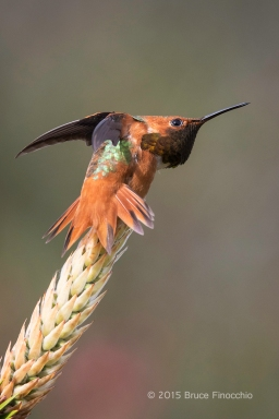 Male Allen's Hummingbird Stretches On A Bottle Brush Blossom
