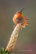 Male Allen's Hummingbird Stretches Tail Feathers