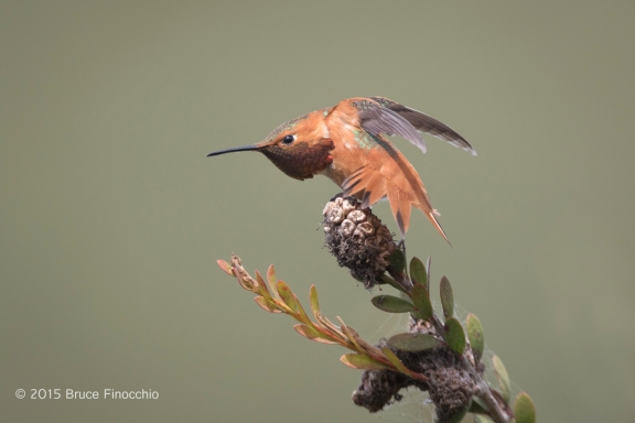 Male Allen's Hummingbird Stretches Wings