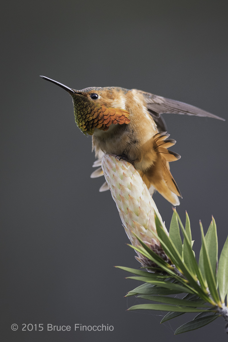 Male Allen's Hummingbird Stretching Wing and Tail Feathers