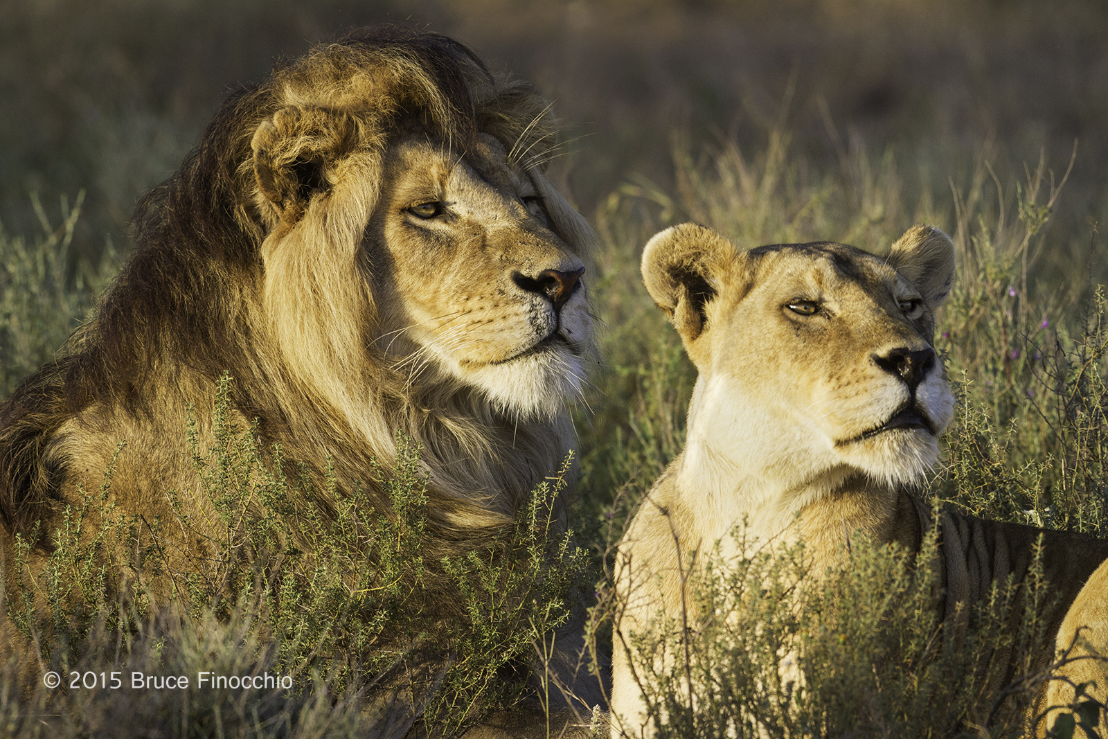 Lions Mating – Dream Catcher Images by Bruce Finocchio