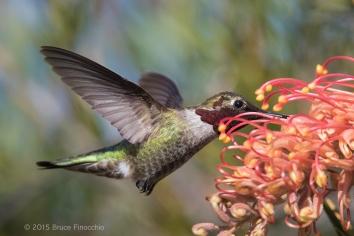 Male Anna's Hummingbird Feeds On Superb Grevillea