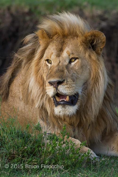 King of Beast