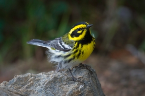 Male Townsend's Warbler Perches On A Rock