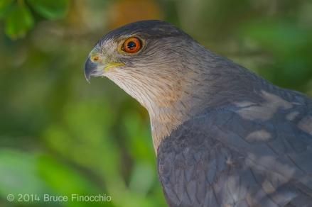 Portrait of A Male Cooper's Hawk