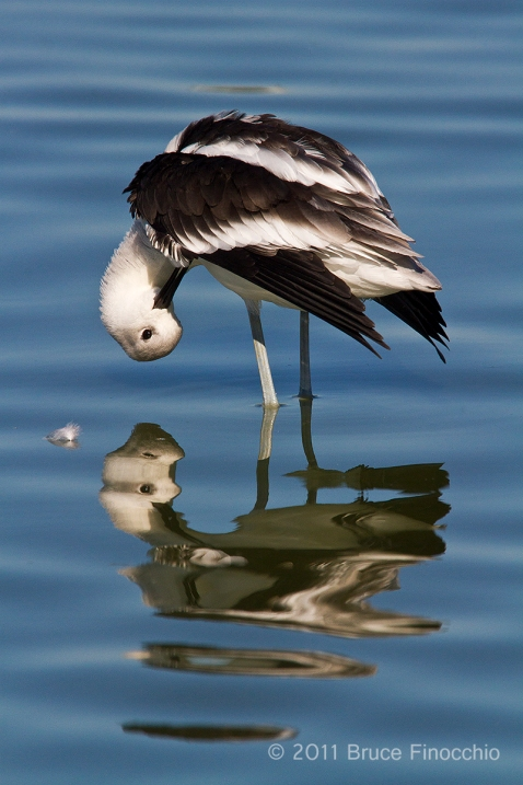 Avocet Reflections