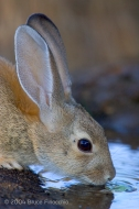 A Desert Cottontail Rabbit Drinks From A Small Pool at the Ramrod Ranch