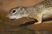 Mexican Ground Squirrel With Drop Water On Chin