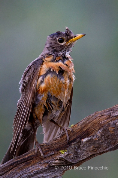 Very Soaked Robin