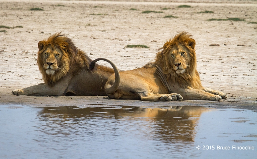 Male Lion Flips Tail Along Pan Edge While Lying With A Older Male Lion