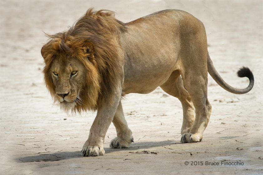 Male Lion Walks Along The Edge Of A Serengeti Pan