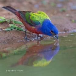 As A Male Painted Bunting Drinks His Reflection Shines In The Pool