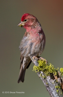 Beautiful Male Cassin's Finch