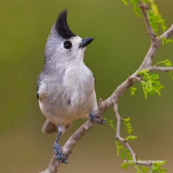 Black-crested Titmouse On A Mesquite Branch