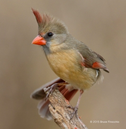 Female Cardinal On Top Of Perch