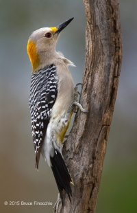 Female Golden-fronted Woodpecker Clings To A Dead Branch