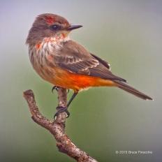 © 2013 Bruce Finocchio --Immature Male Vermilion Flycatcher