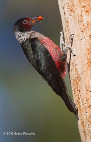 Lewis Woodpecker With Berries on Ponderosa Pine