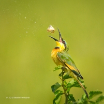 Little Bee Eater Toss Moth In Air Before Swallowing