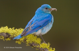 Male Mountain Bluebird With Insect On A Lichen Perch
