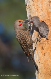 Male Northern Flicker Feeds His Young Son