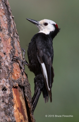 Male White-headed Woodpecker Holds On To Pine Bark