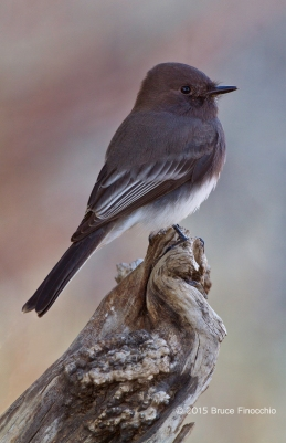 Painterly Black Phoebe