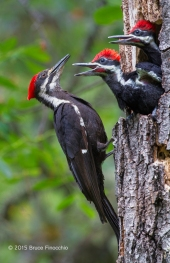 Pileated Woodpeckers Chicks Beg Mother For More Food