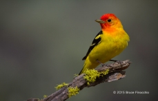 Regal Male Western Tanager