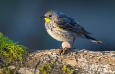 Young Inexperienced Female Yellow-rumped Warbler Lays An Egg Outside of Nest