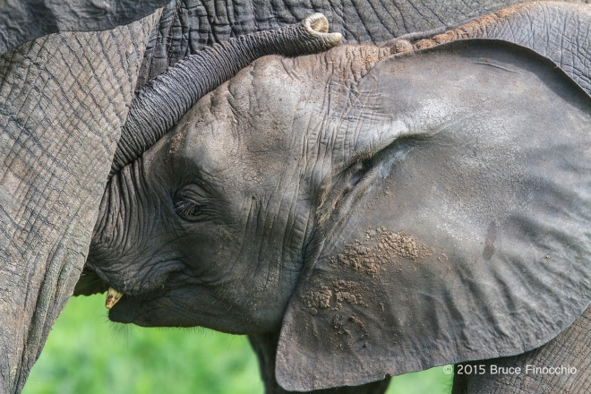 Young Elephant Curls Trunk Over Head While Under Mother