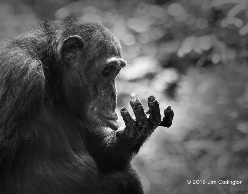Male Chimp Pondering Hand