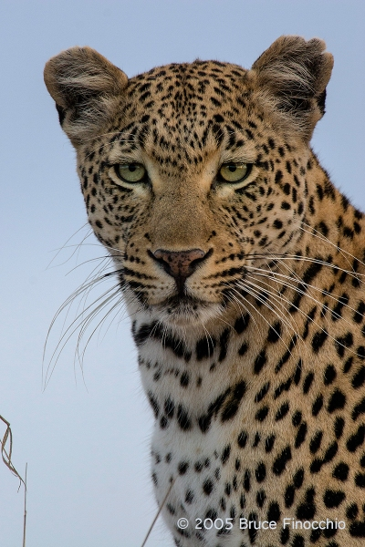 Female Leopard Looking Out At Her World