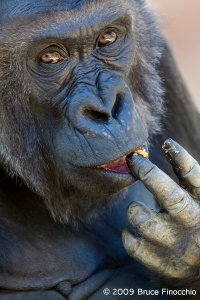 Female Gorilla Eats With Her Fingers