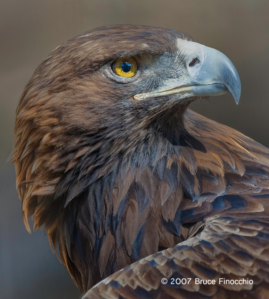 Golden Eagle Head Shoulder Portrait