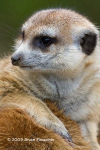 Meercat Resting On The Back Of Another