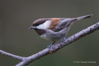 A Chestnut-backed Chickadee Lands On A Branch