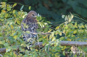 Hidden Red-shoulder Hawk Looks For Prey While Perched