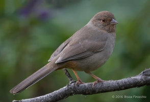 A Perched Yet Alert California Towhee