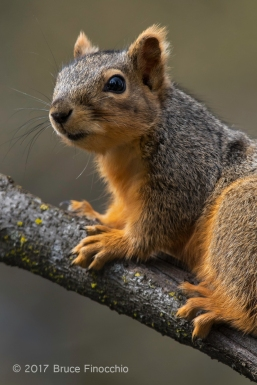 A Regal Looking Fox Squirrel