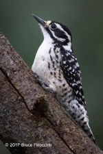 Alert And Watchful Female Nuttall's Woodpecker