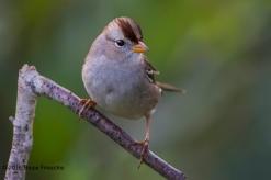 Alert Juvenile White-crowned Sparrow