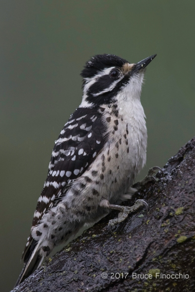 An Alert Female Nuttall's Woodpecker Posed On A Tree Trunk